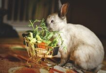 czym karmić króliki